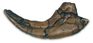 Fossil UtahRaptor Dinosaur Raptor 9 Claw Replica