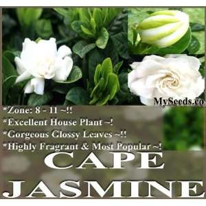 10 Cape Jasmine Shrub, Gardenia Flower Seeds ~ Showy
