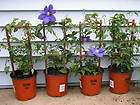 PURPLE CLEMATIS VINES    SEEDLINGS   GROUND COVER CLIMBING VINE