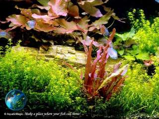 Nymphaea rubra   Live aquarium plant fish tank gallon