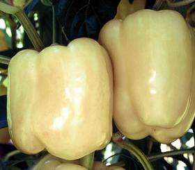 Pepper White Bell 25 Seeds + GIFT Only Heirlooms