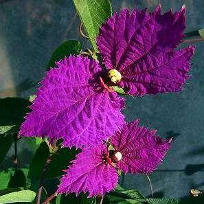 Costa Rican Butterfly Vine, Bow Tie Vine, Purple Wings Vine